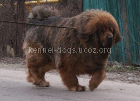 купить щенка тибетского мастифа